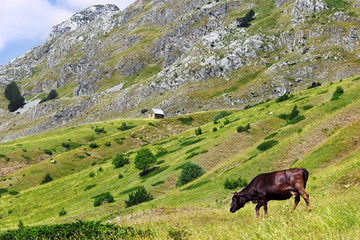 Cow on a green pasture in the mountains