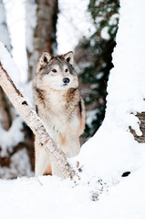Wolf in winter woods
