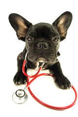 french bulldog in studio with white isolated background