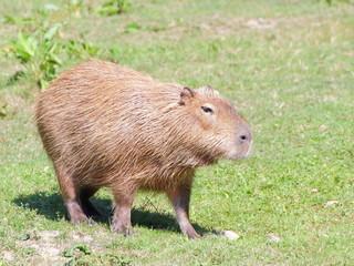 Capybara on the pasture