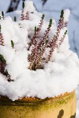 Heidekraut im Schnee, Erica with snow