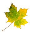 Farben des Herbstes: Buntes Ahornblatt