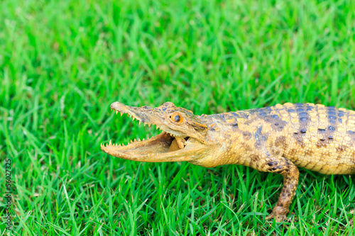 Young Crocodile on green grass