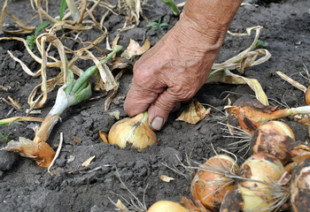 senior woman harvesting ripe onion