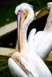 Pelican cleaning his plumage
