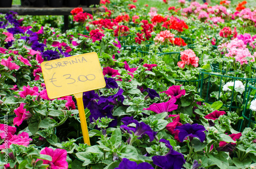 Petunia surfinia plants in pots for sale with price tags