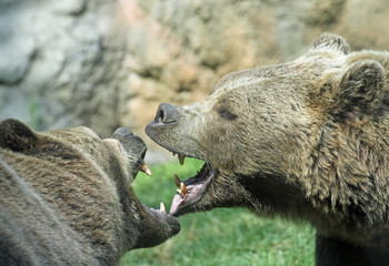 ferocious bears struggle with mighty bites and blows the mouth o