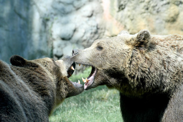 two ferocious bears struggle with mighty bites and blows the mou