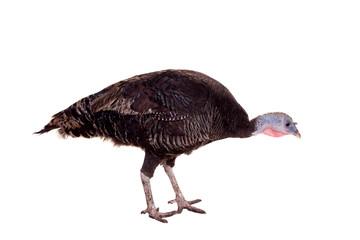 Turkey hen isolated on white