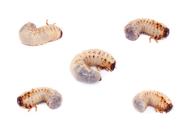 Larva of the European rhinoceros beetle on the white background