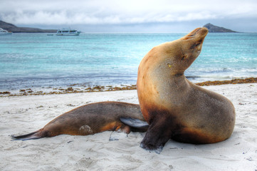 Seelöwen auf den Galapagos Inseln
