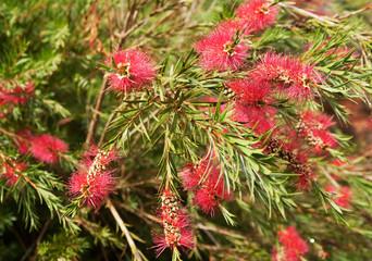 Callistemon, of bottlebrush bush