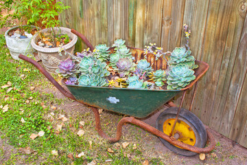 Wheelbarrow With Desert Roses