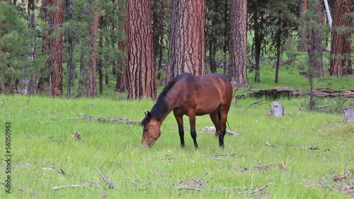 Single young bay wild horse foraging in forest