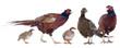game birds - 56051741