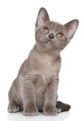 Burmese kitten portrait