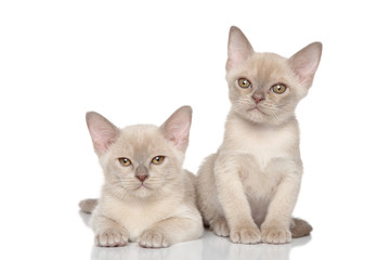 Two Burmese kittens on white background