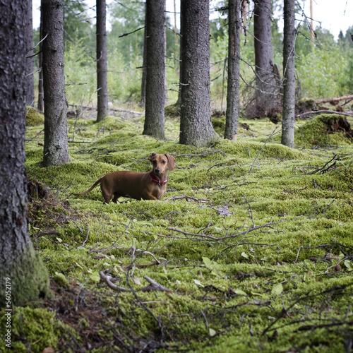 Dachshund dog in the coniferous forest