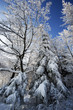 Winter trees in Beskid mountains, Poland