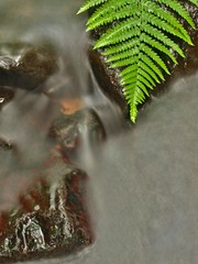 Wet fern stem on boulder in blurred blue cold water of stream