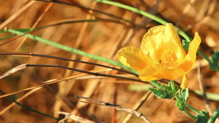 Yellow flower and dry grass