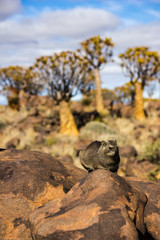 Dassie in front of Quiver Trees, Namibia