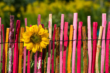 Sonnenblume am Gartenzaun
