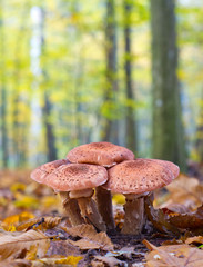 Mushrooms Armillaria on the green forest background