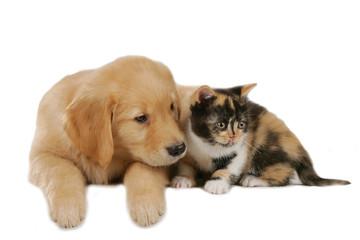 Golden Retriever mit Katze