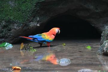 Scarlet Macaw (Ara macao) in Ecuador