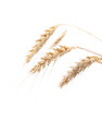 Four ears of wheat on a white background
