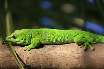gecko vert