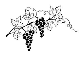 Vector illustration -- grapevine