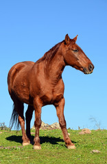 brown horse profile