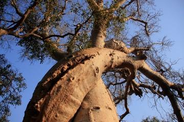 deux baobabs qui s'enlacent