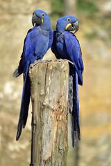 Two Hyacinth macaws