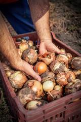fresh onion in the basket