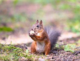 Squirrel with a hazelnut