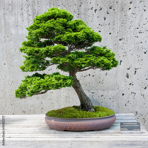 Fotobehang Bonsai A bonsai miniature of a Hinoki Falsecypress tree on display