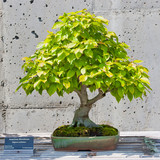 A bonsai miniature of an American Hornbeam tree on display