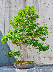 A bonsai miniature of a Surinam Cherry   tree on display