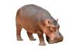 hippopotamus isolated - 56083358