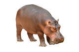 hippopotamus isolated