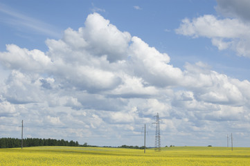 Flowering rapeseed field and power line