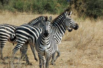 The freedom in the savanna - Tanzania