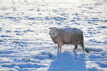 sheep on snow in winter