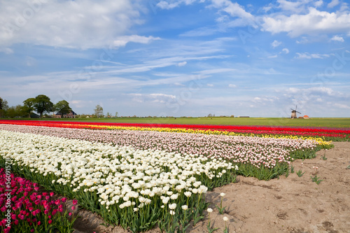 colorful tulips on spring fields and windmill