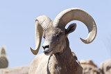 Bighorn Sheep in Arizona