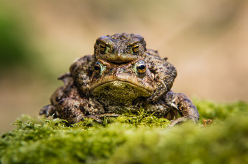 Common Toads mating (Bufo bufo)