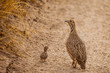 Wild African Orange River Francolin with a chick